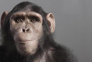 Los científicos desvelan que los chimpancés aún no están listos para entrar en la edad de piedra