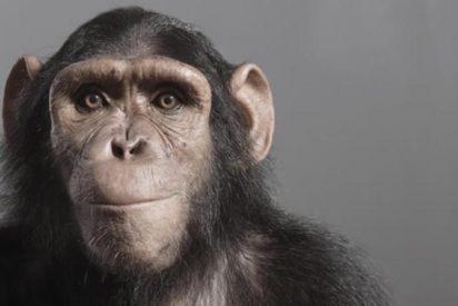 El chimpancé se controla en función de su inteligencia