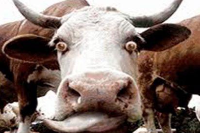 Brutal atropello de este todoterreno a 180 km/h a dos pobres vacas