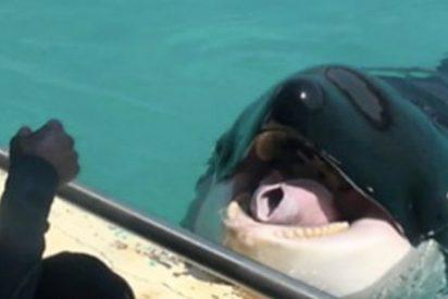 Wikie; la orca que habla tras aprender a imitar sonidos humanos