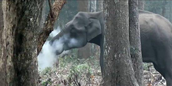 El misterioso caso del elefante 'fumador'