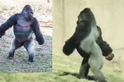EL gorila bípedo deja atónitos a los turistas
