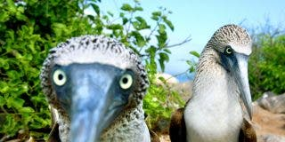 Maravillas del mundo animal: el pájaro bobo de se va de pesca