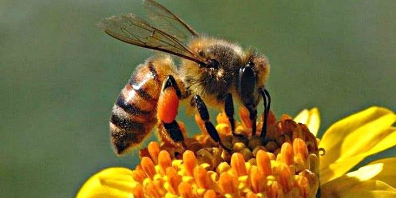 Los laureles de montaña catapultan su polen a gran velocidad