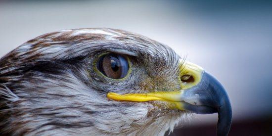 Este halcón se ha hecho el 'dueño' de las calles de Nueva York