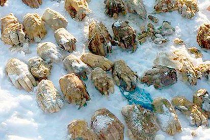 Encuentran una siniestra bolsa con 26 pares de manos en una isla de Siberia