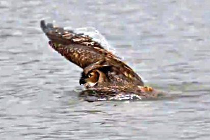 El búho cruza a nado el lago para escapar de los halcones