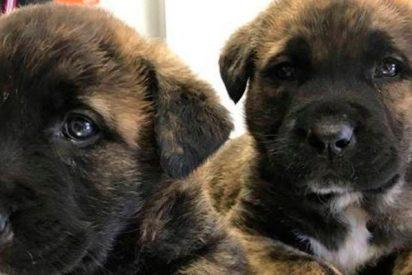 La pareja de cachorros de mastín rescatados de un contenedor de basura han tenido un final feliz