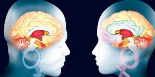 Demuestran cómo el cerebelo participa en tareas cognitivas y afectivas