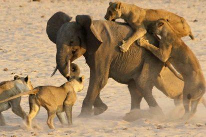 El elefantito que planta cara a 14 feroces leonas, lucha y logra ganar la desigual pelea