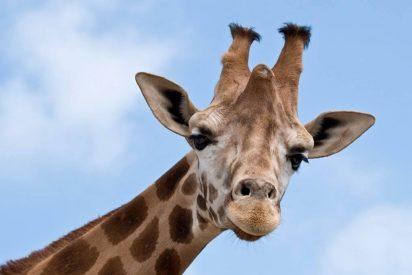La extraña enfermedad que afecta a las jirafas y tiene muy preocupados a los científicos