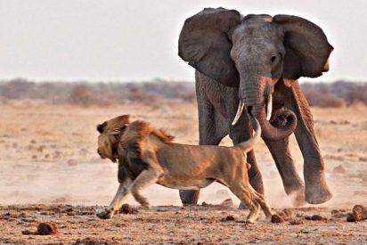 El león contra el elefante y otras brutales peleas entre animales salvajes
