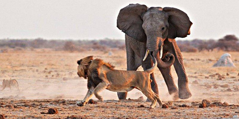 El león contra el elefante y otras brutales peleas entre animales ...