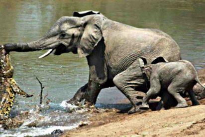 El cocodrilo se atreve incluso con el gigantesco elefante