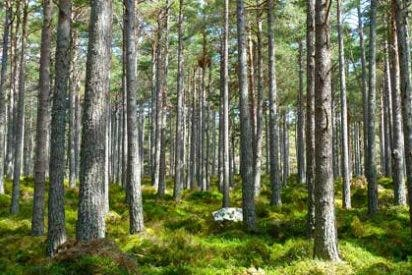 Los anillos de los árboles antiguos desvelan un eventos solar extremo hace unos 7.500 años