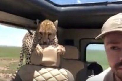 Este turista se lleva el susto de su vida al entrarle en el coche un curioso guepardo