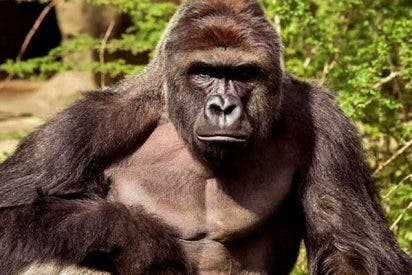 Este gorila bípedo deja atónitos a los turistas al 'evolucionar' frente a sus ojos