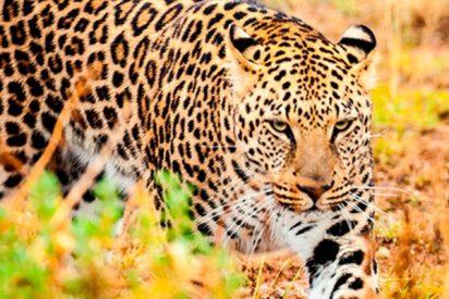 El feroz enfrentamiento entre un jaguar y un oso hormiguero que termina con un giro inesperado