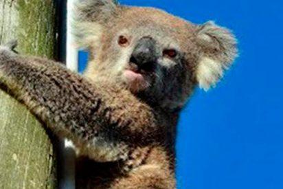 Rescatan a este koala que pasó dos días sin poder bajar de un poste bajo un sol abrasador