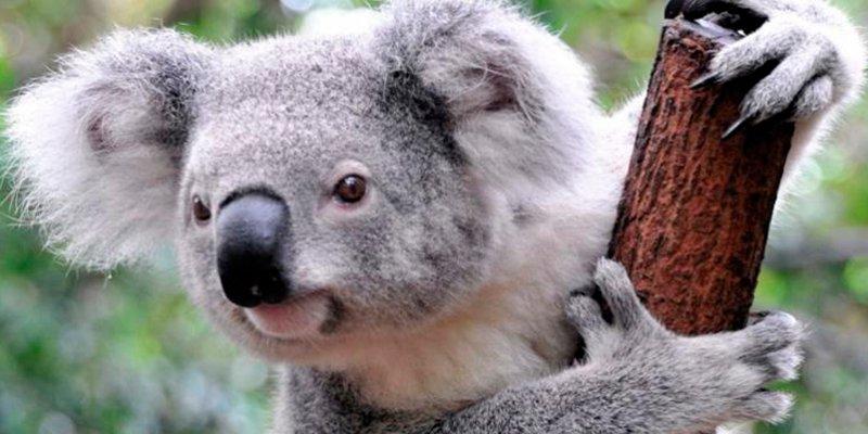 ¿Sabes cuáles son los mejores lugares del mundo para ver pandas, koalas y otros animales adorables?