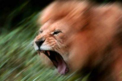 El león enseña a los turistas por qué no hay que asomarse en el coche