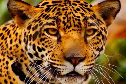 Este leopardo salvaje desata el pánico en la india