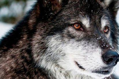 ¿Sabes cuál es la mejor raza de perro para defender a las ovejas del ataque de los lobos?