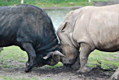 Epico combate entre el rinoceronte y el búfalo