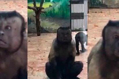 Este mono con cara 'humana' y aspecto depresivo es la atracción de un zoológico
