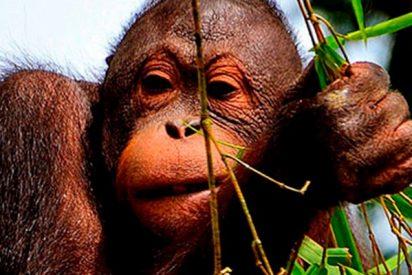 Este orangután fumador causa polémica en las redes sociales