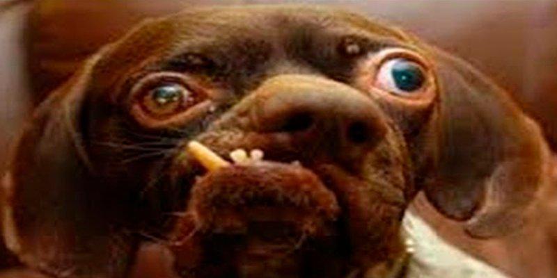 Cirugía estética para perros; la última tendencia