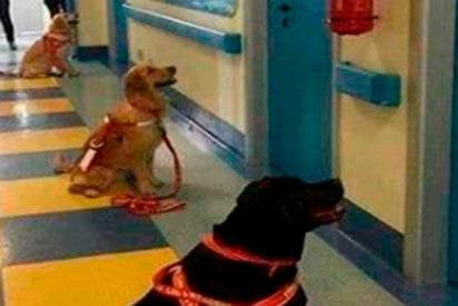 Así esperan impacientes los perros terapeutas para entrar en las habitaciones de niños ingresados
