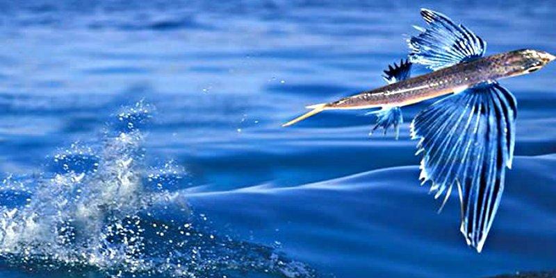 Ventajas de la edad: La experiencia se impone a la juventud entre los peces voladores