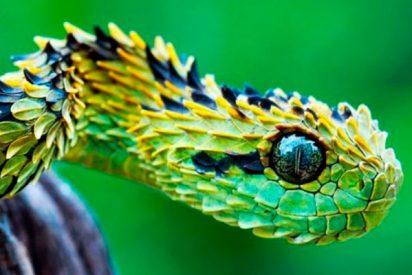 Esta serpiente se acerca a saludar a su vecina