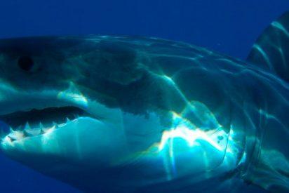 Este tiburón blanco gigante ronda así el bote de un pescador en Florida