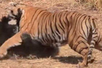 La feroz pelea entre un tigre y una osa