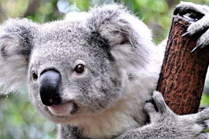 El adorable baño de este koala lo peta en las redes