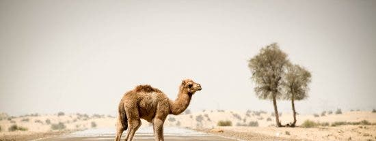 Un rayo fulmina a 11 camellos en Arabia Saudí