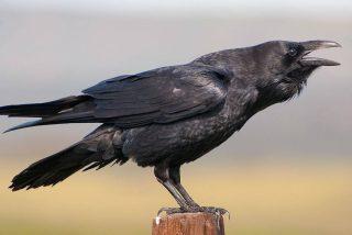 ¿Es el cuervo el animal más listo del planeta?