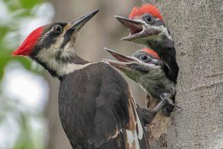 El valor del pájaro carpintero, el ataque de las águilas y la emboscada del cocodrilo