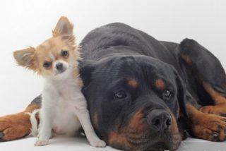 El Rottweiler salva a su amigo el Chihuahua de las fauces del Coyote