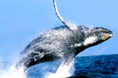 Así rescatan a esta ballena gris atrapada