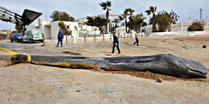 Contaminación: el cachalote del Cabo de Palos murió de una indigestión plástico