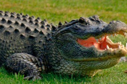 Así sacan a este caimán de más de 3 metros de una piscina en Florida