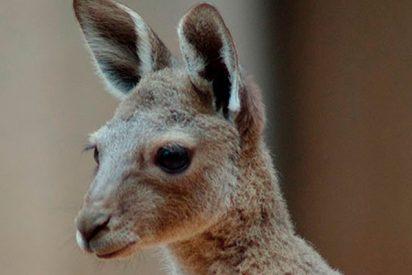 Visitantes desalmados de un zoo chino matan a pedradas a un indefenso canguro