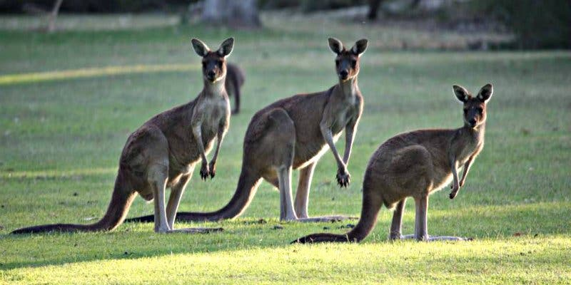 El ancestro más antiguo del canguro vivió en Australia hace 24 millones de años