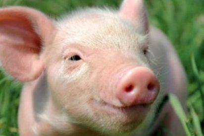 Científicos consiguen mantener vivos cerebros de cerdos decapitados hasta 36 horas