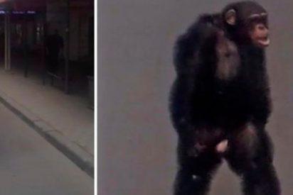 Este chimpancé fugado se pasea por las calles de una ciudad rusa como un vecino más