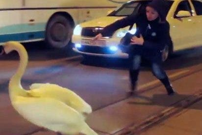 Este cisne monta tremendo lío en Kaliningrado