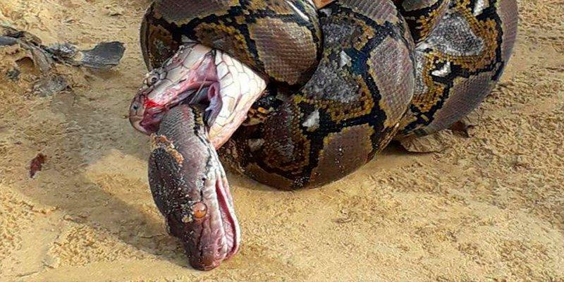 ¿Sabes cómo acaba esta feroz lucha entre una cobra real y una pitón gigante?